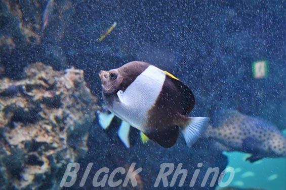 ブラックピラミッドバタフライフッシュ02 サンシャイン水族館