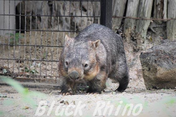 コモンウォンバット(ヒメウォンバット) ウォレス01 東山動物園
