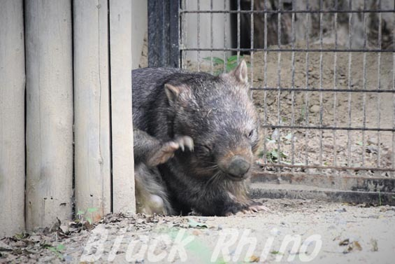 コモンウォンバット(ヒメウォンバット) ウォレス03 東山動物園