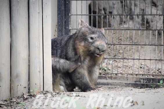 コモンウォンバット(ヒメウォンバット) ウォレス04 東山動物園