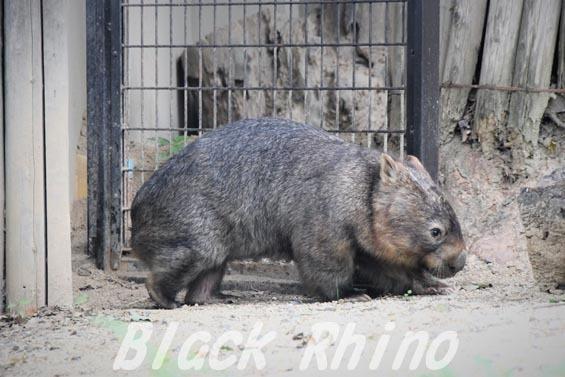 コモンウォンバット(ヒメウォンバット) ウォレス05 東山動物園