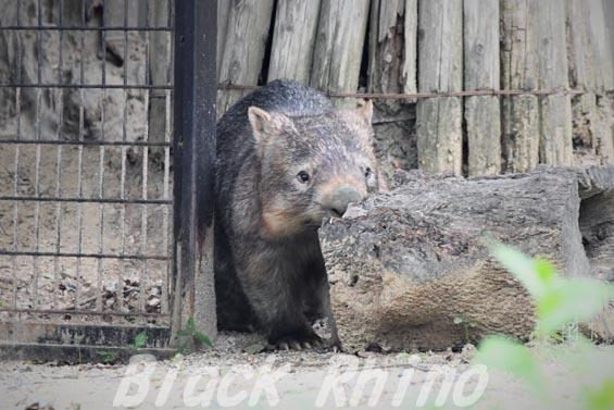 コモンウォンバット(ヒメウォンバット) ウォレス07 東山動物園