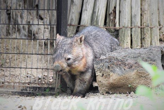 コモンウォンバット(ヒメウォンバット) ウォレス08 東山動物園