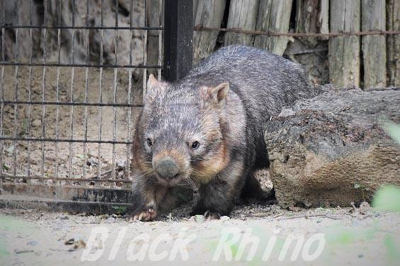 コモンウォンバット(ヒメウォンバット) ウォレス09 東山動物園