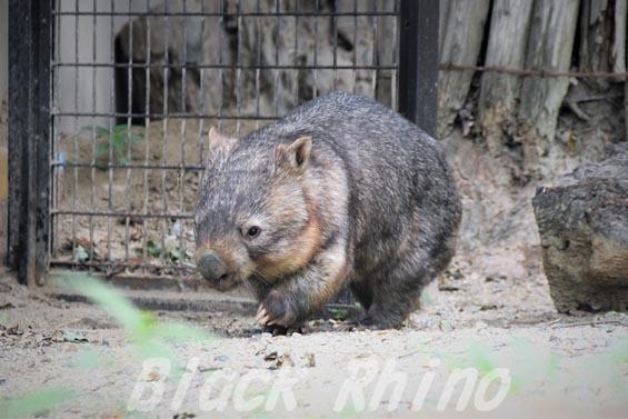 コモンウォンバット(ヒメウォンバット) ウォレス10 東山動物園