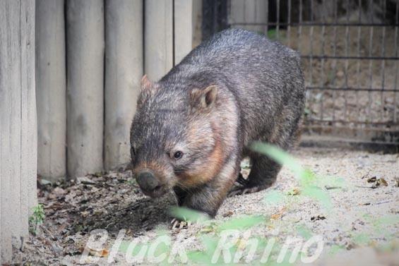 コモンウォンバット(ヒメウォンバット) ウォレス11 東山動物園