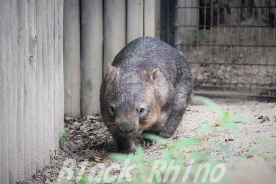コモンウォンバット(ヒメウォンバット) ウォレス12 東山動物園