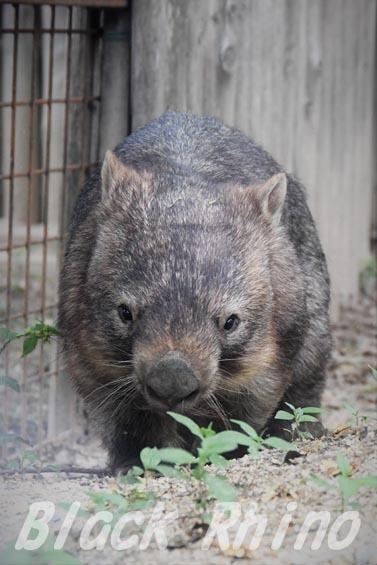 コモンウォンバット(ヒメウォンバット) ウォレス13 東山動物園