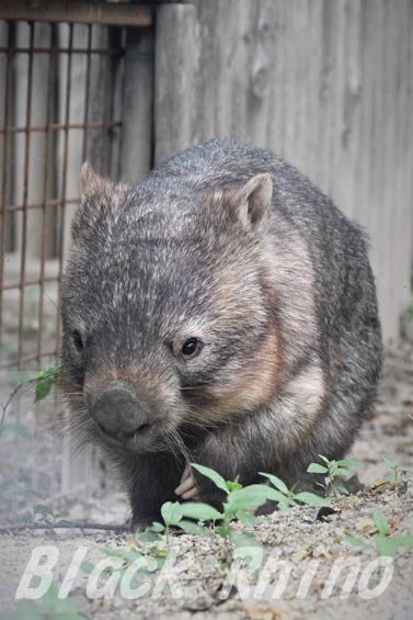 コモンウォンバット(ヒメウォンバット) ウォレス14 東山動物園