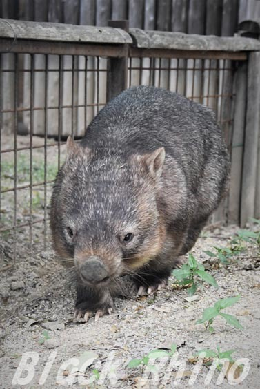 コモンウォンバット(ヒメウォンバット) ウォレス15 東山動物園
