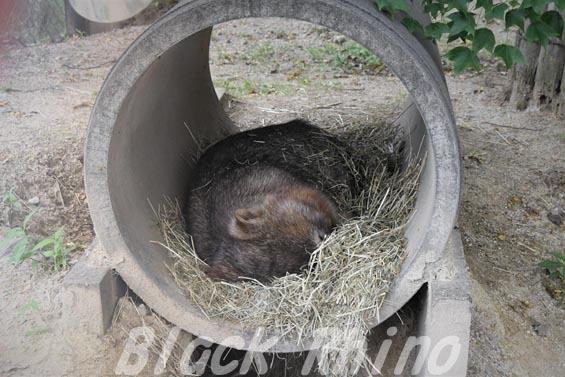 コモンウォンバット(ヒメウォンバット) ウォレス17 東山動物園