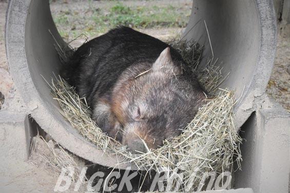 コモンウォンバット(ヒメウォンバット) ウォレス18 東山動物園