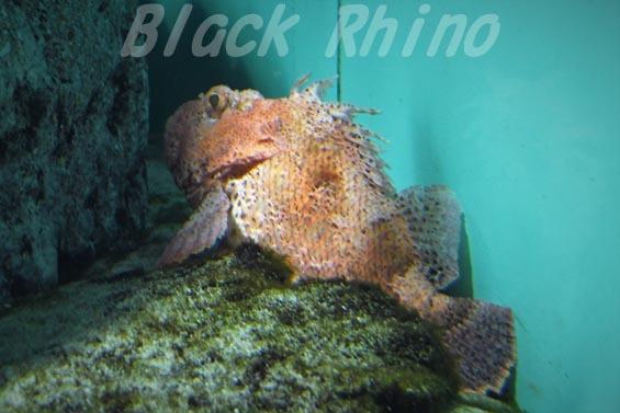 ウェスタンレッドスコーピオンコッド01 葛西臨海水族園
