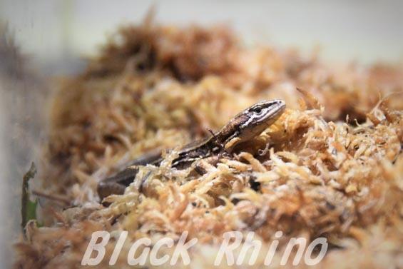 ニホンカナヘビ01 市川市動植物園