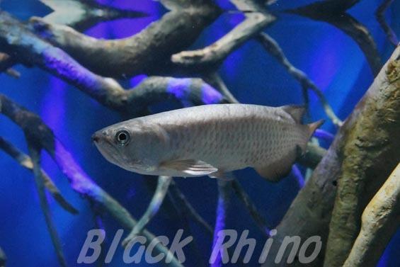 スポッテッドバラムンディ01 マリホ水族館
