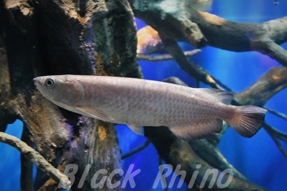 スポッテッドバラムンディ02 マリホ水族館