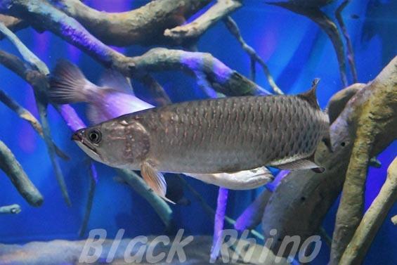 ノーザンバラムンディ01 マリホ水族館