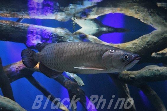ノーザンバラムンディ02 マリホ水族館