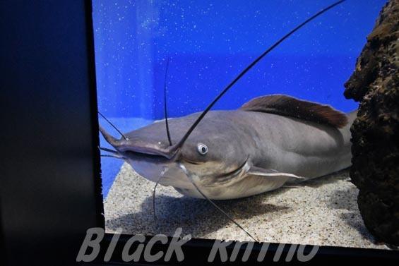 ヘテロブランクスキャットフィッシュ(ヘテロブランクスクララ)01 マリホ水族館