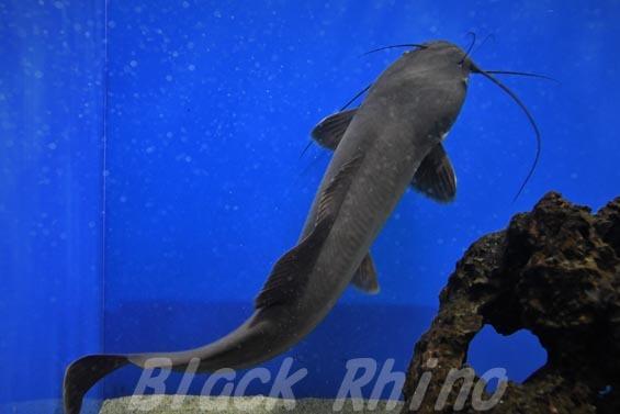 ヘテロブランクスキャットフィッシュ(ヘテロブランクスクララ)03 マリホ水族館