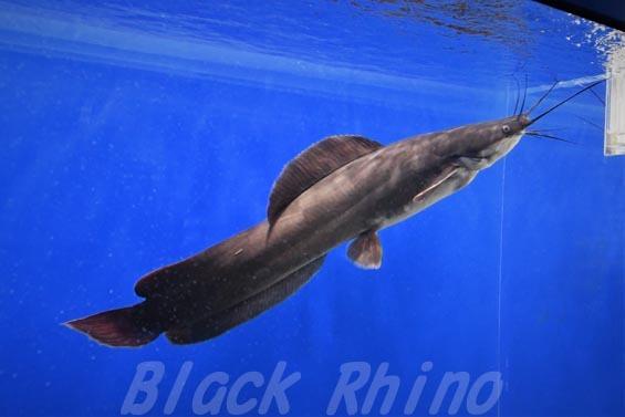 ヘテロブランクスキャットフィッシュ(ヘテロブランクスクララ)04 マリホ水族館