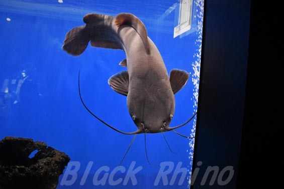 ヘテロブランクスキャットフィッシュ(ヘテロブランクスクララ)05 マリホ水族館