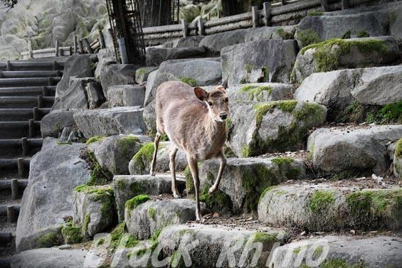 ニホンジカ02 岡崎東公園