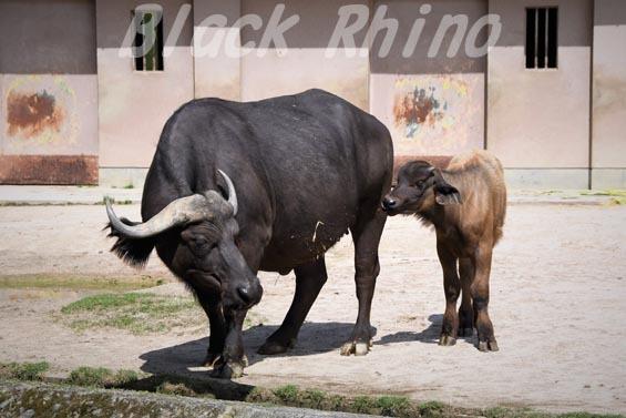 アフリカスイギュウ ハルカ 赤ちゃん01 安佐動物公園