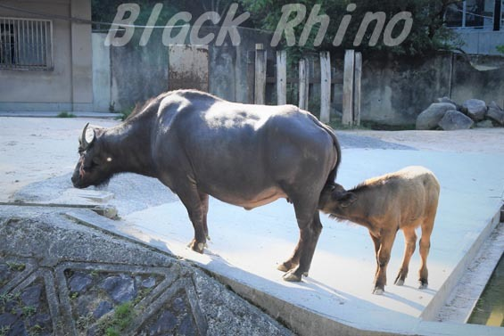 アフリカスイギュウ ハルカ 赤ちゃん02 安佐動物公園