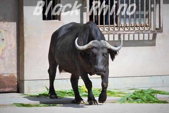 アフリカスイギュウ ハルカ01 安佐動物公園
