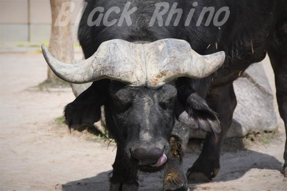 アフリカスイギュウ ヒデキ03 安佐動物公園