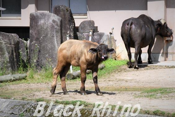アフリカスイギュウ 赤ちゃん05 安佐動物公園