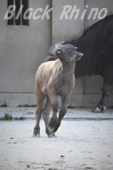 アフリカスイギュウ 赤ちゃん06 安佐動物公園