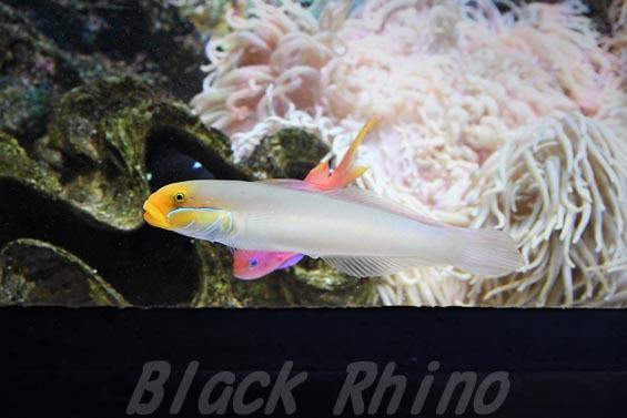 アカハチハゼ01 マリホ水族館