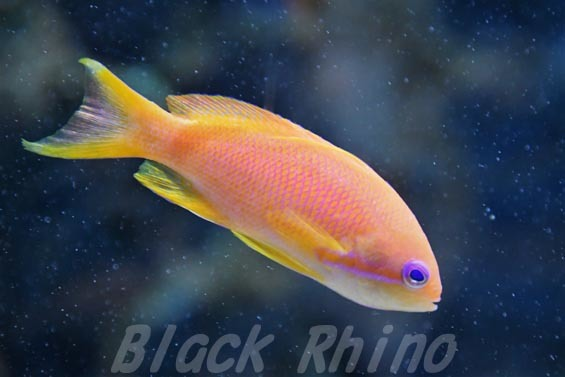 スミレナガハナダイ02 マリホ水族館