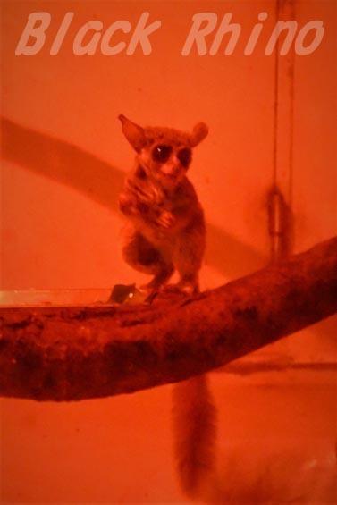 ショウガラゴ02 安佐動物公園