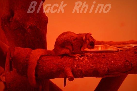 フクロモモンガ01 安佐動物公園