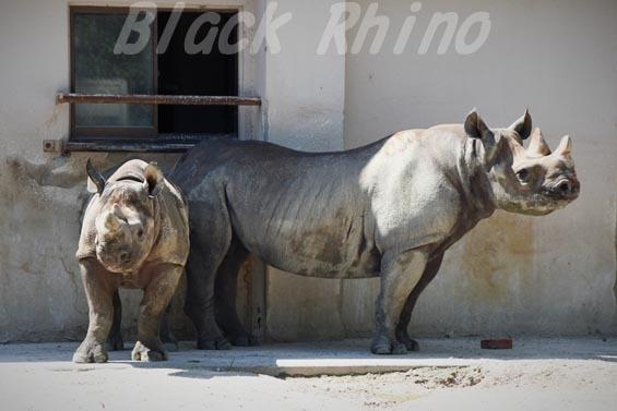 ヒガシクロサイ サキ ニコ01 安佐動物公園