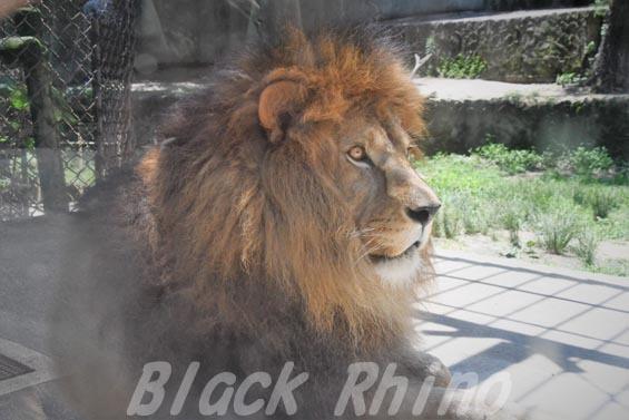 ライオン01 安佐動物公園