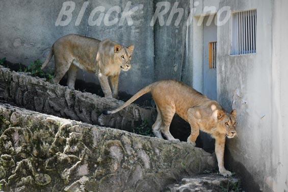 ライオン02 安佐動物公園