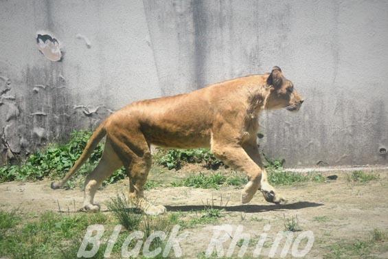 ライオン03 安佐動物公園