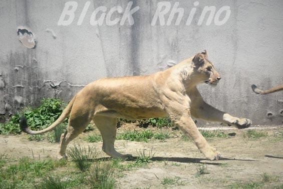 ライオン04 安佐動物公園