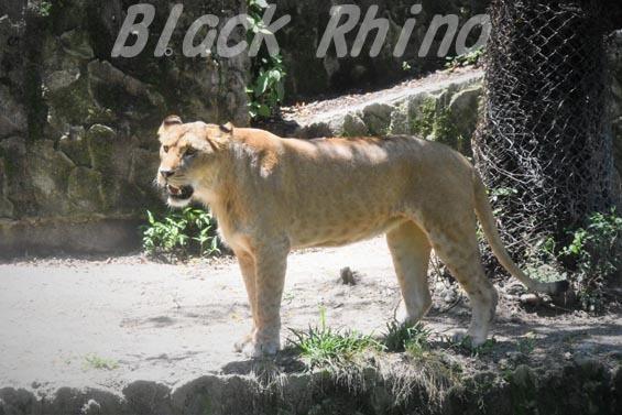 ライオン09 安佐動物公園