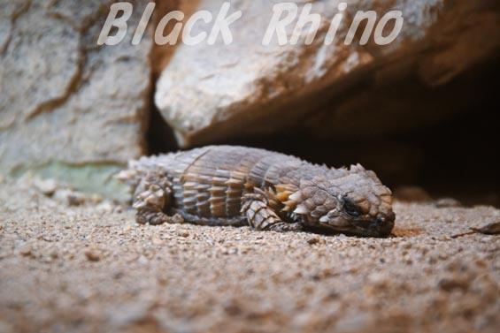 アルマジロトカゲ02 安佐動物公園