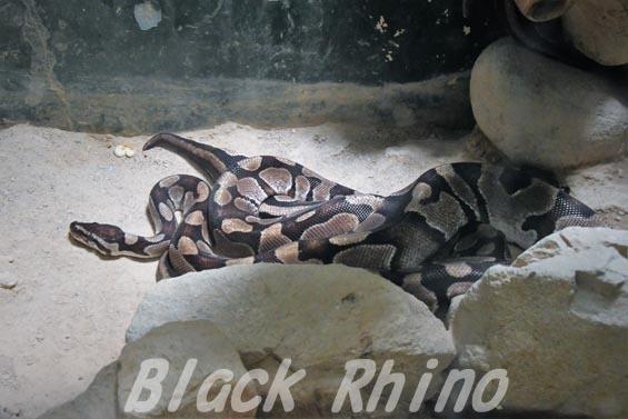 ボールニシキヘビ01 安佐動物公園