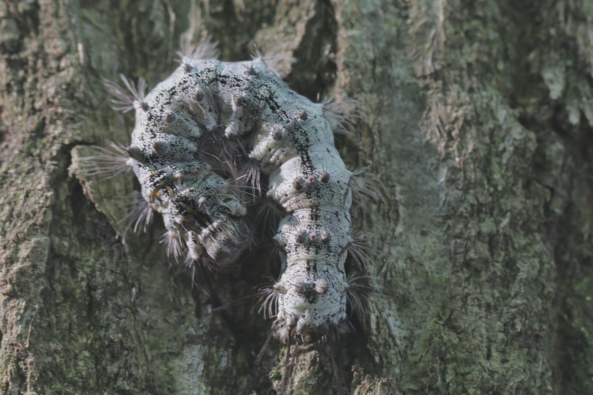 カレハガ幼虫?JPG