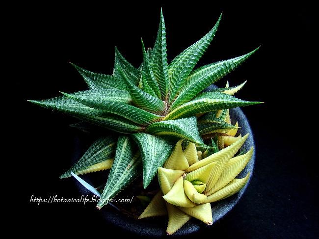 爬虫類っぽい、植物!瑠璃殿錦♪