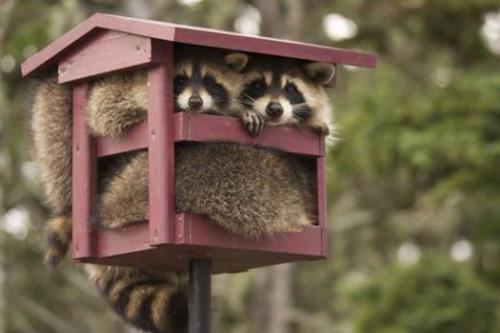 8小屋の中からアライグマ2匹が顔を出す