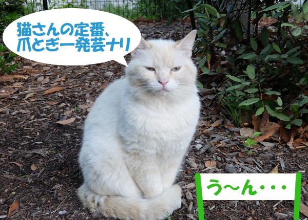 猫さんの定番、爪とぎ一発芸ナリ 「う~ん・・・」