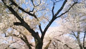 阪急嵐山駅付近の桜